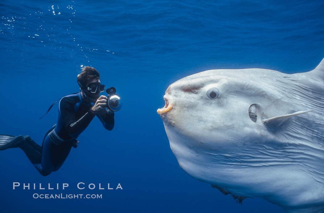 Ocean sunfish and photographer, open ocean. San Diego, California, USA, Mola mola, natural history stock photograph, photo id 03323