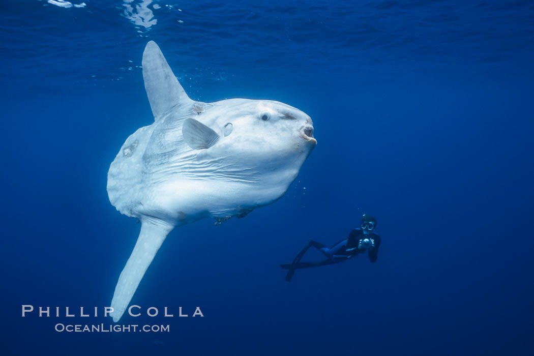 Ocean sunfish and freediving photographer, open ocean. San Diego, California, USA, Mola mola, natural history stock photograph, photo id 03491