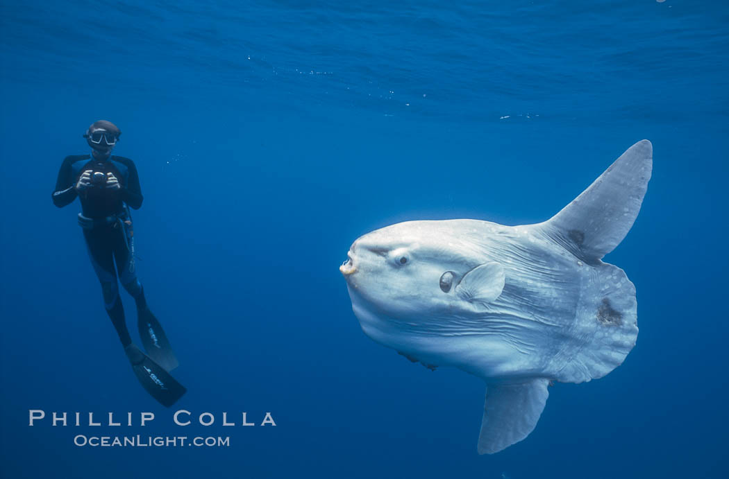 Ocean sunfish and freediving photographer , open ocean. San Diego, California, USA, Mola mola, natural history stock photograph, photo id 03833
