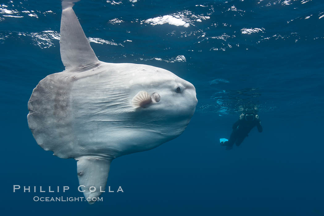 Ocean sunfish, open ocean, photographer, freediving. San Diego, California, USA, Mola mola, natural history stock photograph, photo id 26049
