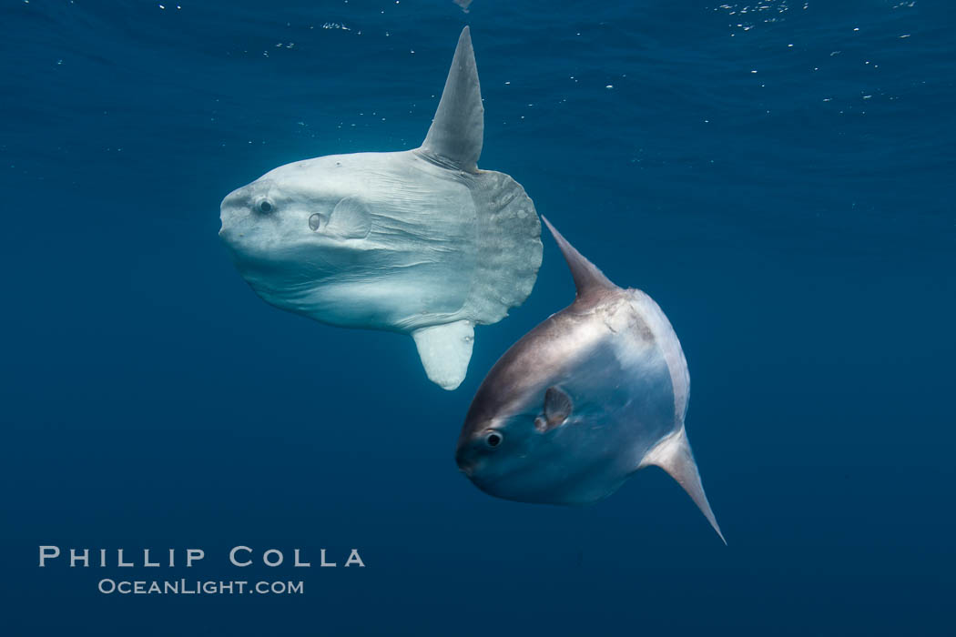 Ocean sunfish, juvenile and adult showing distinct differences in appearance, open ocean. San Diego, California, USA, Mola mola, natural history stock photograph, photo id 26046
