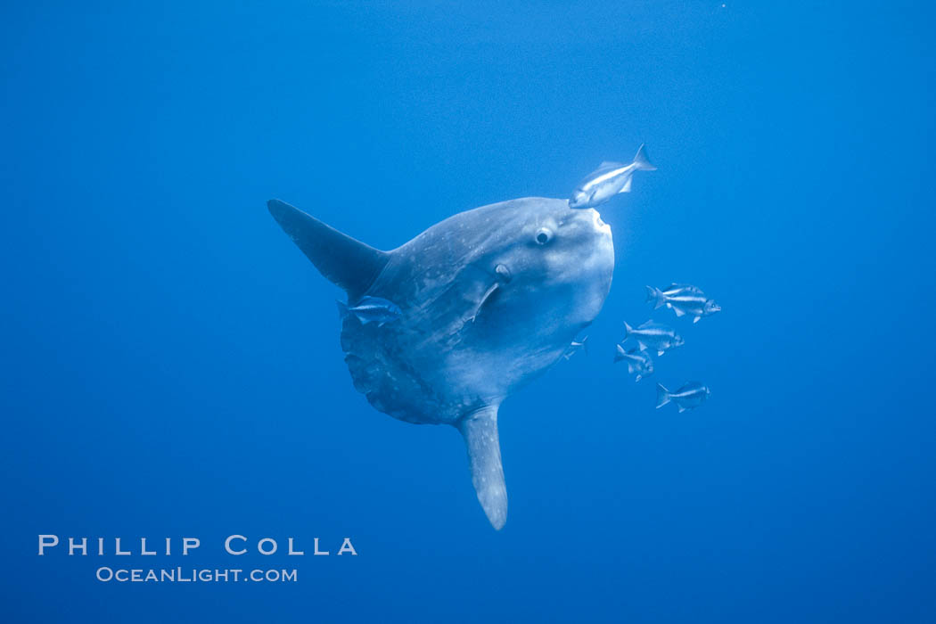 Ocean sunfish, halfmoon perch removing its parasites, open ocean. San Diego, California, USA, Mola mola, Medialuna californiensis, natural history stock photograph, photo id 03168