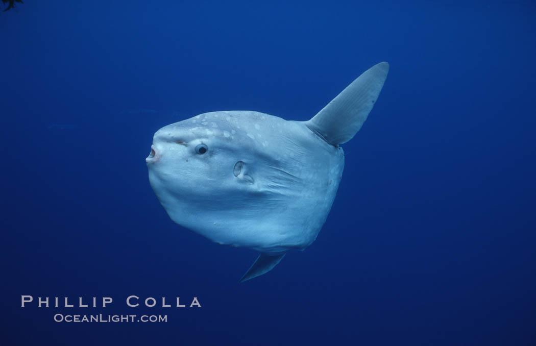 Ocean sunfish, open ocean. San Diego, California, USA, Mola mola, natural history stock photograph, photo id 02891