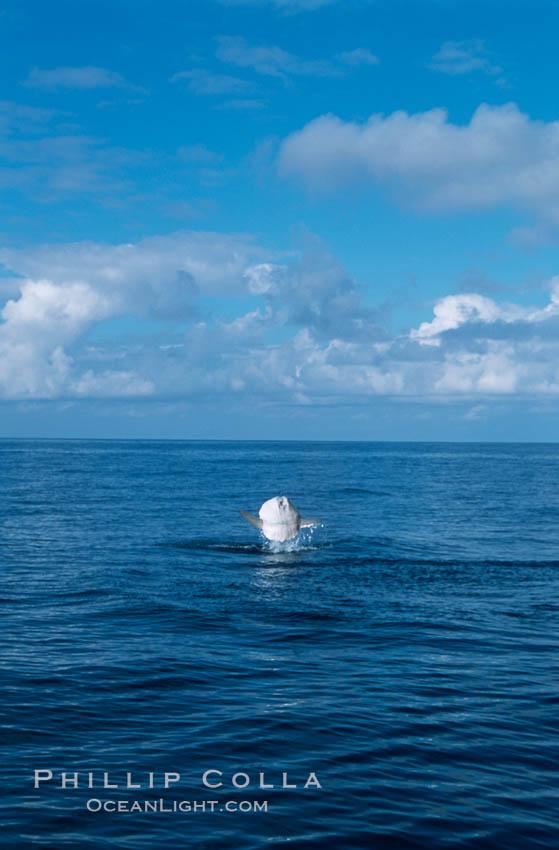 Ocean sunfish breaching. San Diego, California, USA, Mola mola, natural history stock photograph, photo id 06452