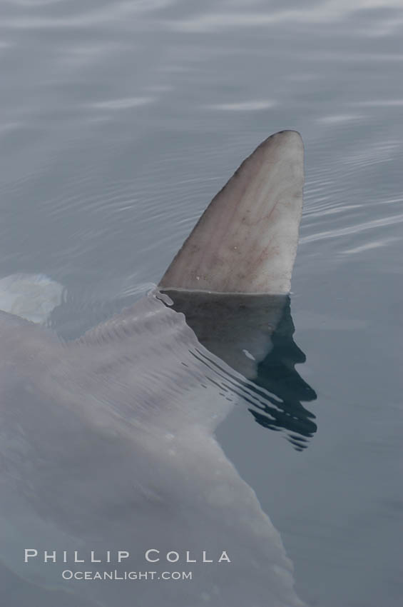 Ocean sunfish swimming with its dorsal fin breaking the ocean surface (sometimes mistaken for a shark).  Open ocean. San Diego, California, USA, Mola mola, natural history stock photograph, photo id 07176