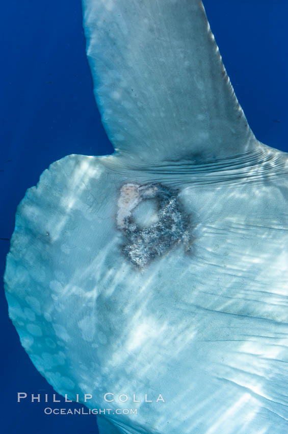 Diseased skin near the dorsal fin of an ocean sunfish, likely caused by parasites, open ocean. San Diego, California, USA, Mola mola, natural history stock photograph, photo id 10007
