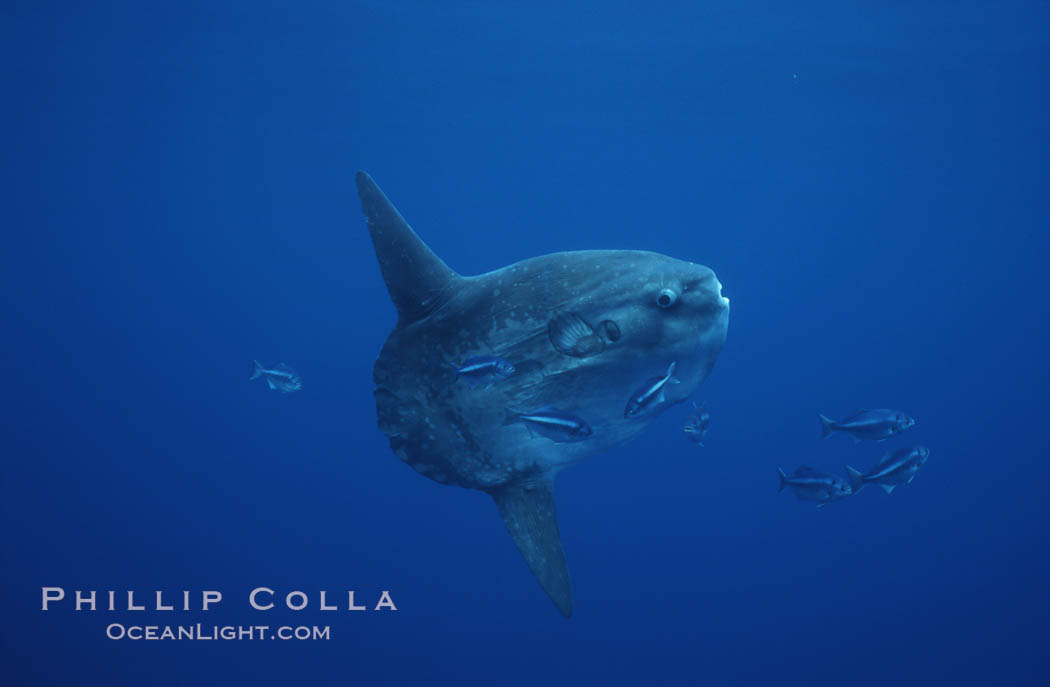 Ocean sunfish, halfmoon perch removing its parasites, open ocean. San Diego, California, USA, Mola mola, Medialuna californiensis, natural history stock photograph, photo id 03169