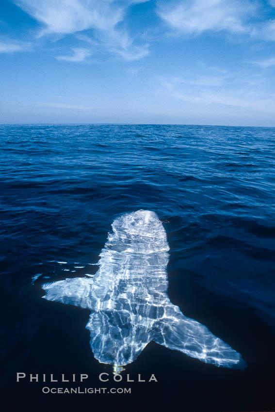 Ocean sunfish, sunning/basking at surface, open ocean. San Diego, California, USA, Mola mola, natural history stock photograph, photo id 03498