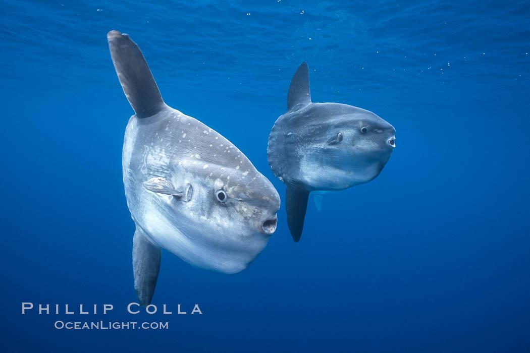 Ocean sunfish schooling, open ocean near San Diego. San Diego, California, USA, Mola mola, natural history stock photograph, photo id 03562