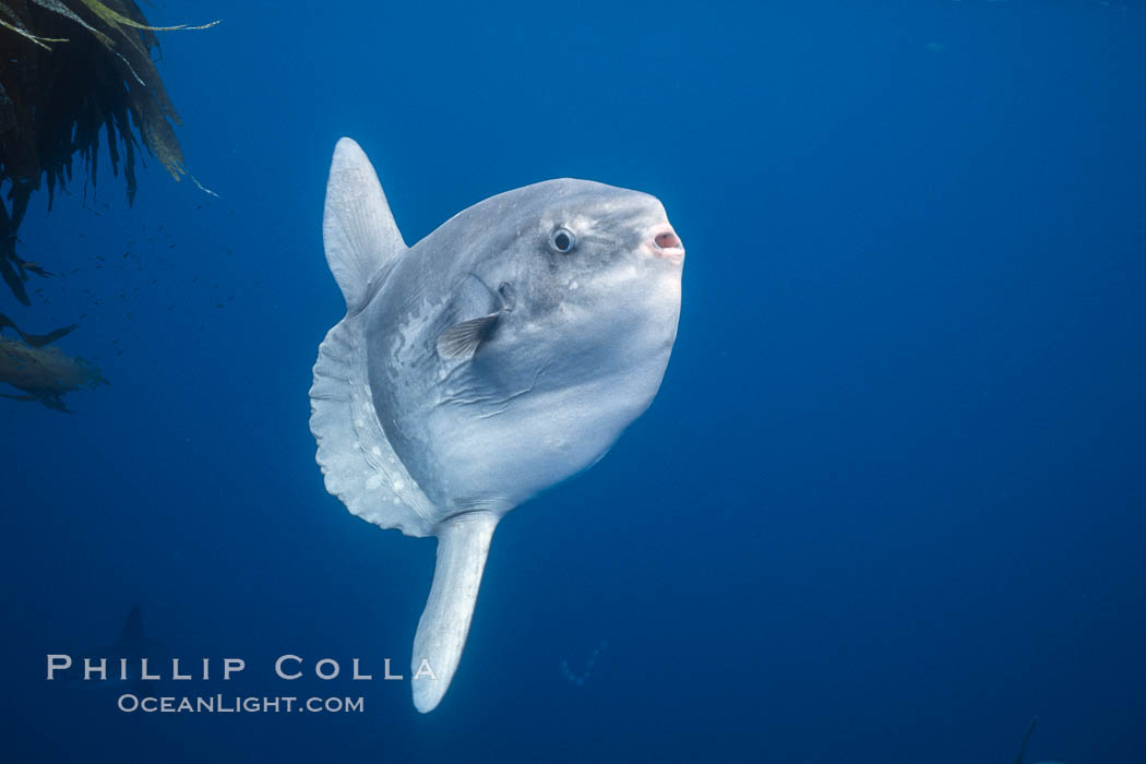 Ocean sunfish, open ocean near San Diego. California, USA, Mola mola, natural history stock photograph, photo id 03574