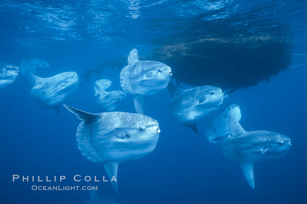Ocean sunfish schooling near drift kelp, soliciting cleaner fishes, open ocean, Baja California., Mola mola, natural history stock photograph, photo id 06304