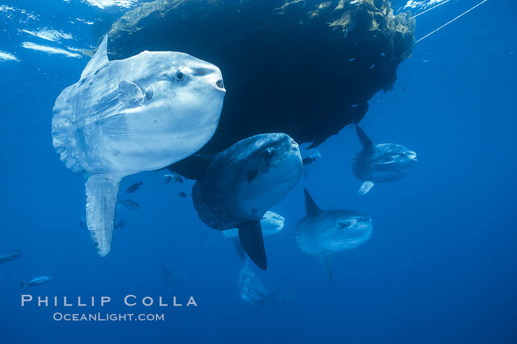 Ocean sunfish schooling near drift kelp, soliciting cleaner fishes, open ocean, Baja California., Mola mola,  Copyright Phillip Colla, image #06308, all rights reserved worldwide.