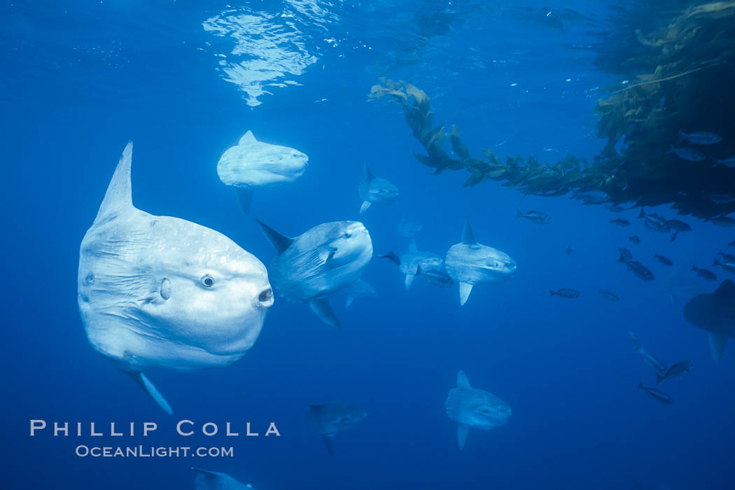 Ocean sunfish schooling near drift kelp, soliciting cleaner fishes, open ocean, Baja California., Mola mola, natural history stock photograph, photo id 06324