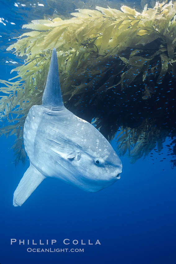 Ocean sunfish recruiting fish near drift kelp to clean parasites, open ocean, Baja California, Mola mola