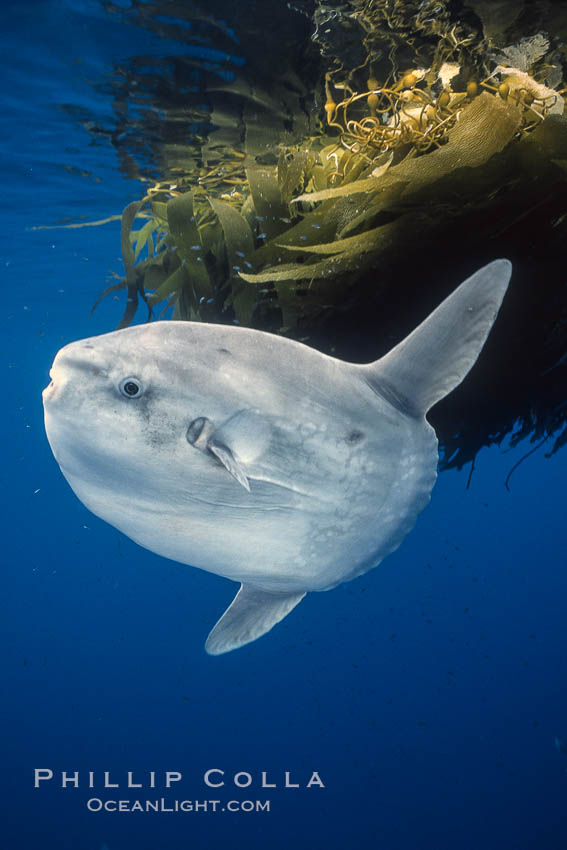 Ocean sunfish referencing drift kelp, open ocean near San Diego. San Diego, California, USA, Mola mola, natural history stock photograph, photo id 03563