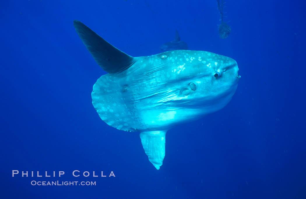 Image 02089, Ocean sunfish, open ocean. San Diego, California, USA, Mola mola, Phillip Colla, all rights reserved worldwide. Keywords: actinopterygii, animal, animalia, california, california baja california, chordata, creature, fish, indo-pacific, manbow, marine, marine fish, mola, mola mola, molidae, mondfisch, moonfish, nature, ocean, ocean sunfish, ocean sunfish - mola mola, odd, outdoors, outside, pacific, pacific ocean, pelagic, pesce luna, pez luna, san diego, sea, strange, submarine, sunfish, teleost fish, tetraodontiformes, underwater, usa, vertebrata, wild, wildlife.