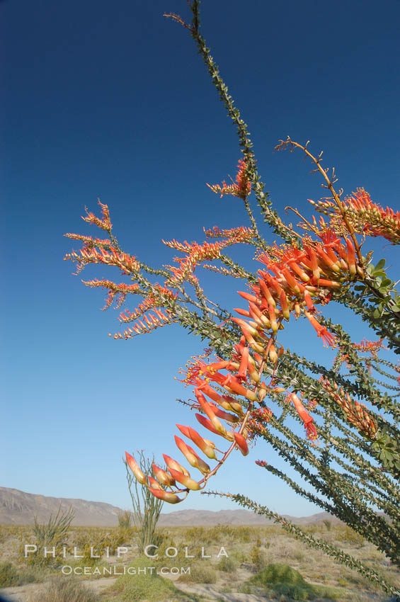 Flower detail on a blooming Ocotillo, springtime. Joshua Tree National Park, California, USA, Fouquieria splendens, natural history stock photograph, photo id 09170