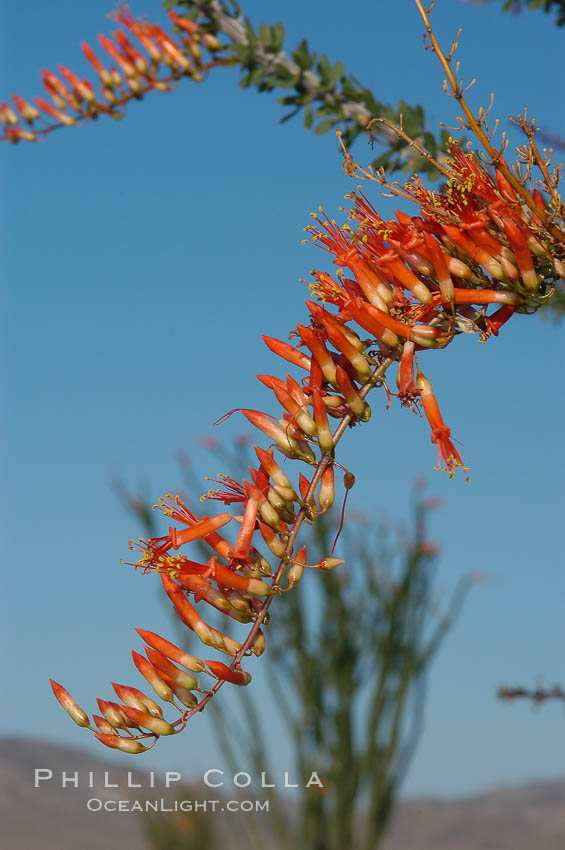 Flower detail on a blooming Ocotillo, springtime. Joshua Tree National Park, California, USA, Fouquieria splendens, natural history stock photograph, photo id 09164