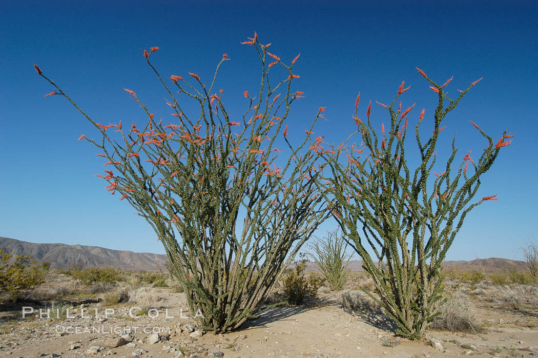 Ocotillo ablaze with springtime flowers. Ocotillo is a dramatic succulent, often confused with cactus, that is common throughout the desert regions of American southwest. Joshua Tree National Park, California, USA, Fouquieria splendens, natural history stock photograph, photo id 09179