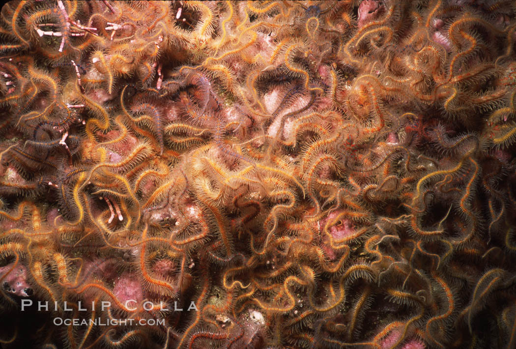 Brittle stars covering rocky reef. Santa Barbara Island, California, USA, Ophiothrix spiculata, natural history stock photograph, photo id 04718