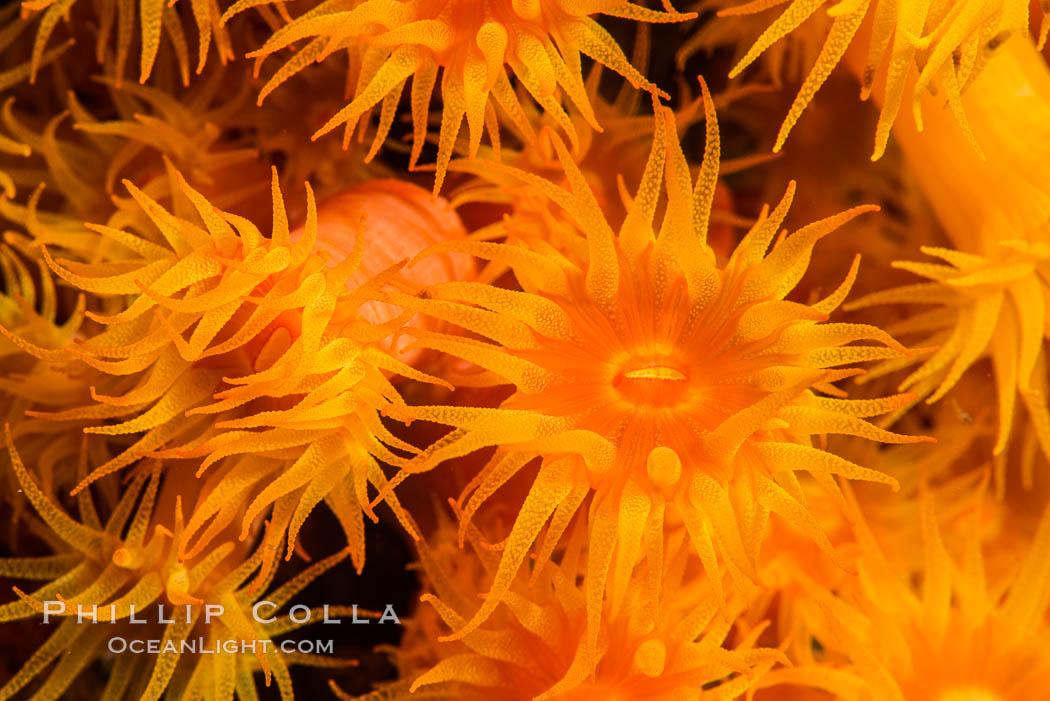 Orange Cup Coral, Tubastrea coccinea, Sea of Cortez, Mexico, Isla Espiritu Santo, Baja California