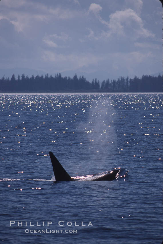 Killer whale (orca). Frederick Sound, Alaska, USA, Orcinus orca, natural history stock photograph, photo id 04403