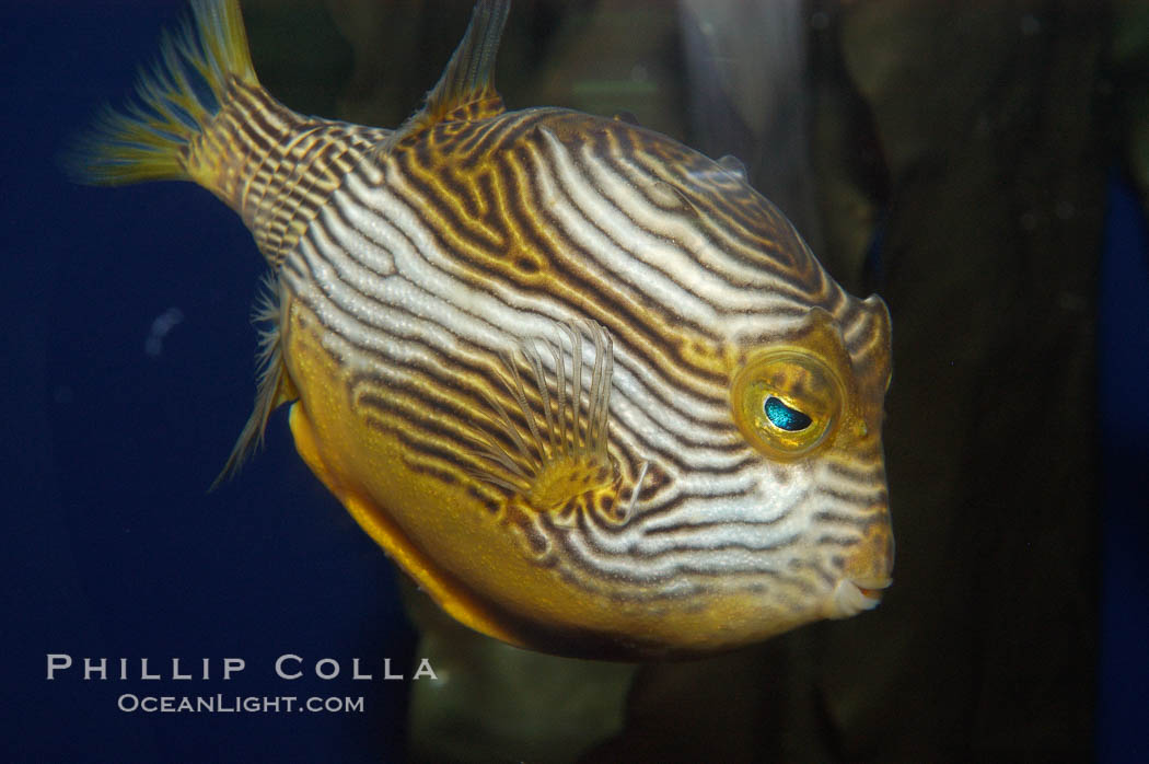 Ornate cowfish, male coloration., Aracana ornata, natural history stock photograph, photo id 09247