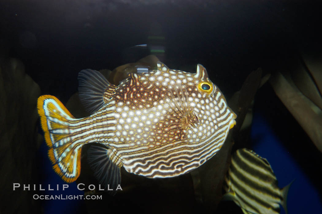 Ornate cowfish, female coloration., Aracana ornata, natural history stock photograph, photo id 09255