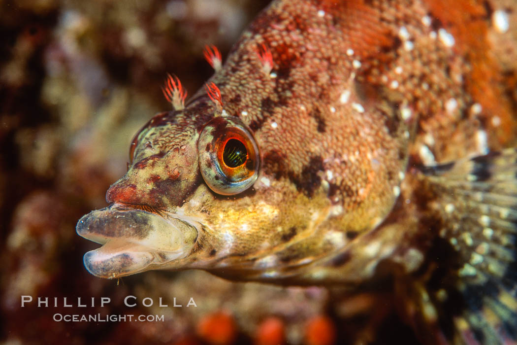 Painted greenling. Monterey, California, USA, Oxylebius pictus, natural history stock photograph, photo id 00629