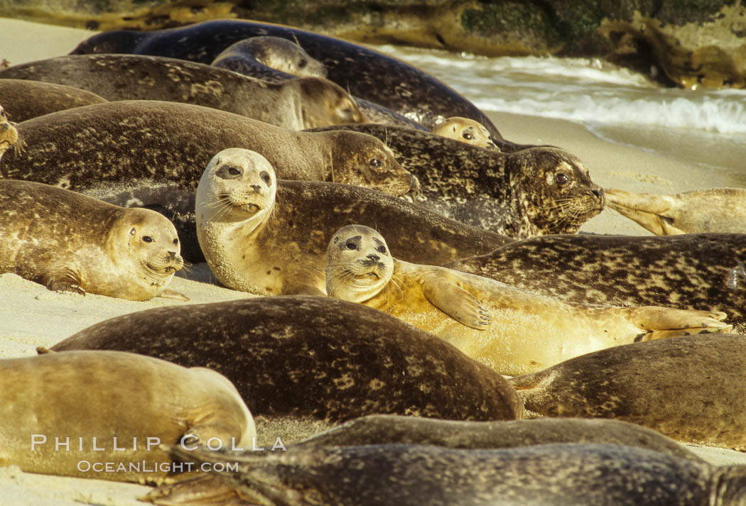 Pacific harbor seals rest while hauled out on a sandy beach.  This group of harbor seals, which has formed a breeding colony at a small but popular beach near San Diego, is at the center of considerable controversy.  While harbor seals are protected from harassment by the Marine Mammal Protection Act and other legislation, local interests would like to see the seals leave so that people can resume using the beach. La Jolla, California, USA, Phoca vitulina richardsi, natural history stock photograph, photo id 01958
