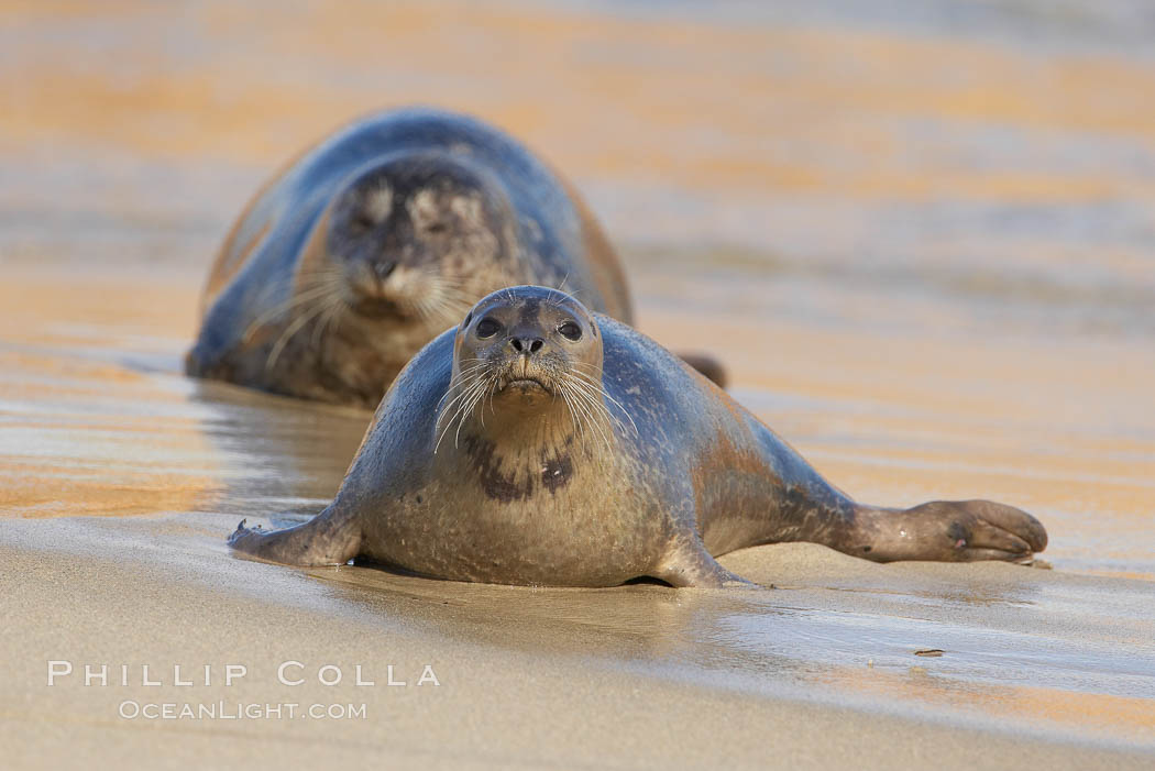 Pacific harbor seal on wet sandy beach., Phoca vitulina richardsi,  Copyright Phillip Colla, image #20214, all rights reserved worldwide.