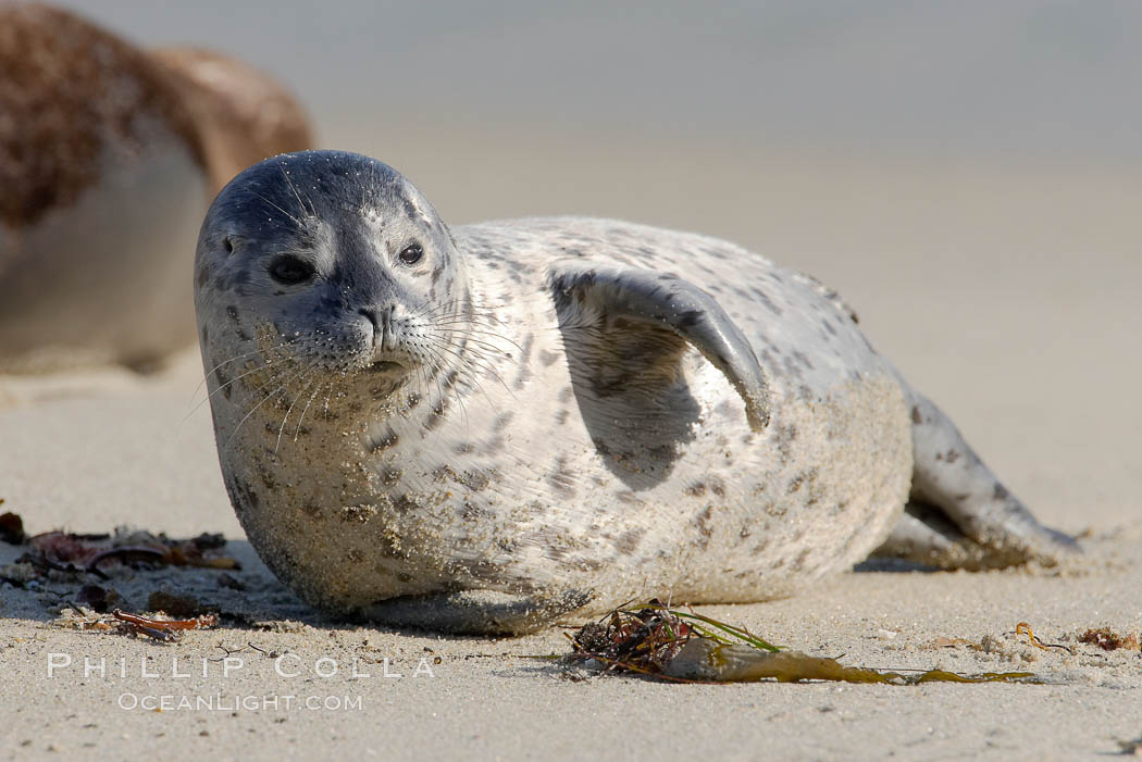 Pacific harbor seal pup. La Jolla, California, USA, Phoca vitulina richardsi, natural history stock photograph, photo id 15763