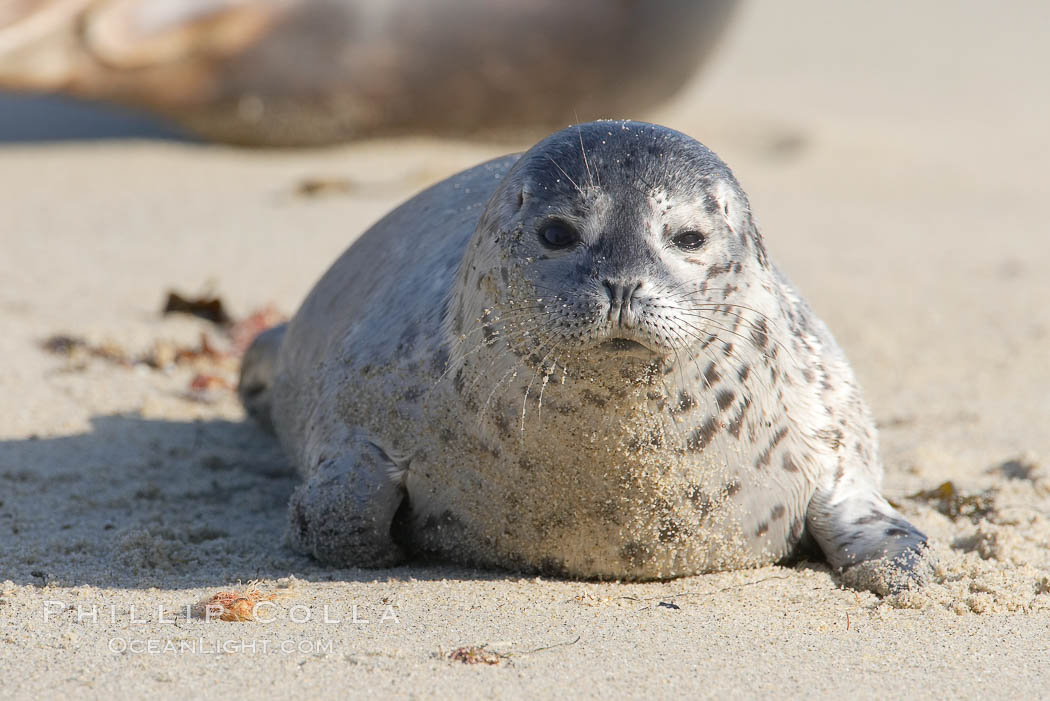 Pacific harbor seal pup, Phoca vitulina richardsi, La Jolla, California