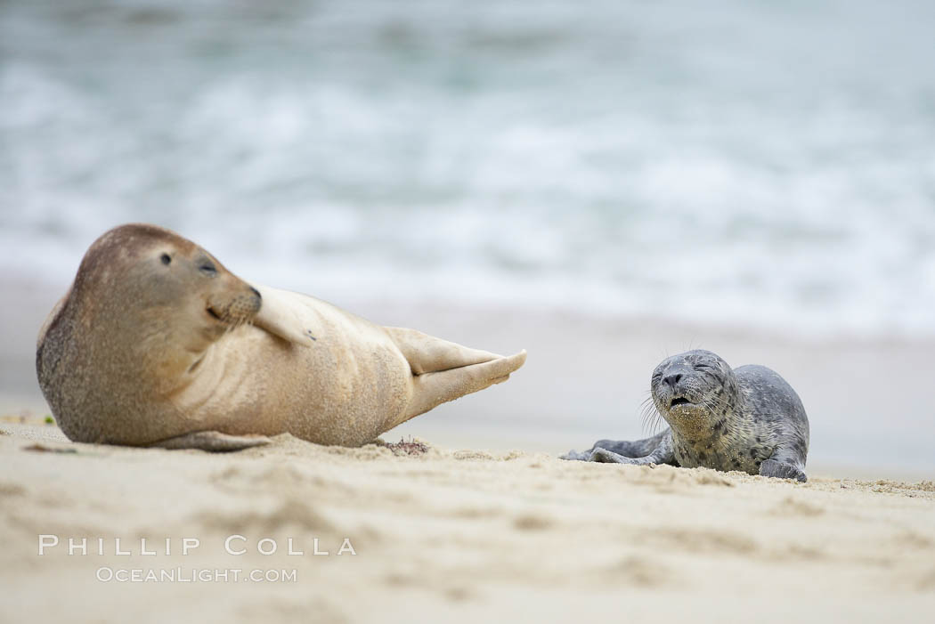 Pacific harbor seal., Phoca vitulina richardsi,  Copyright Phillip Colla, image #20452, all rights reserved worldwide.