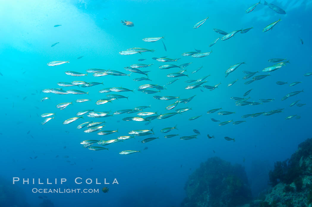 Pacific jack mackerel photo stock photograph of a pacific for Guadalupe island fishing