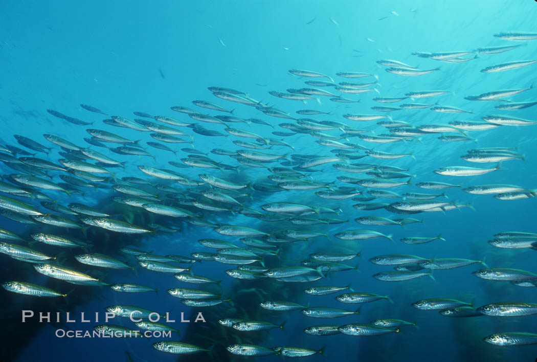 Jack mackerel schooling in kelp. San Clemente Island, California, USA, Trachurus symmetricus, Macrocystis pyrifera, natural history stock photograph, photo id 00307