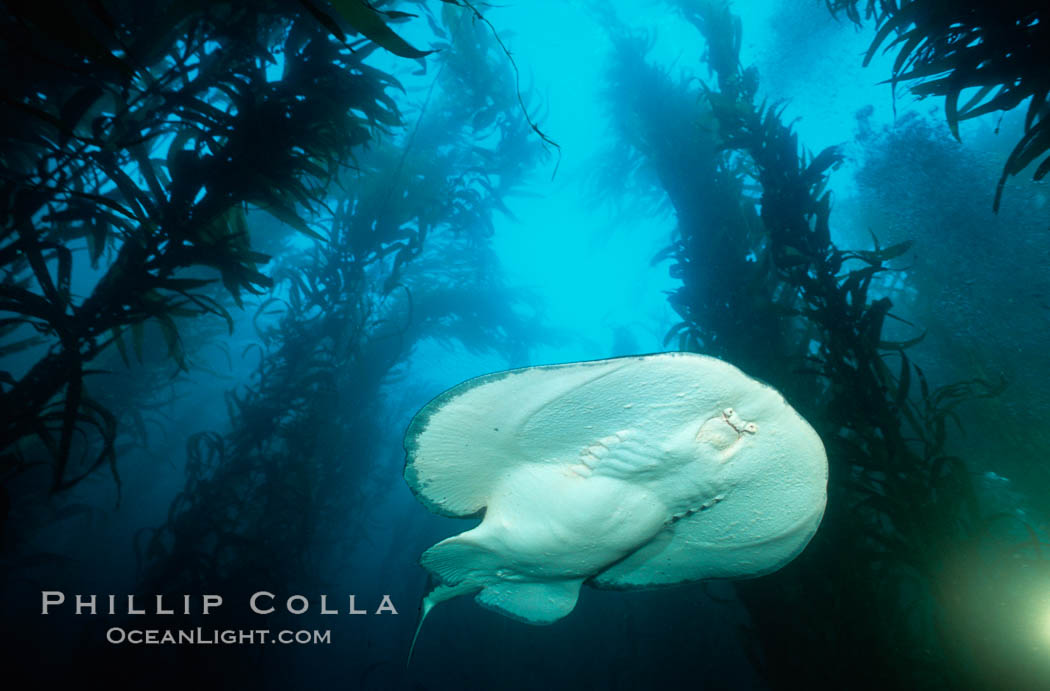 Pacific torpedo ray in kelp. Santa Rosa Island, California, USA, Torpedo californica, Macrocystis pyrifera, natural history stock photograph, photo id 01011