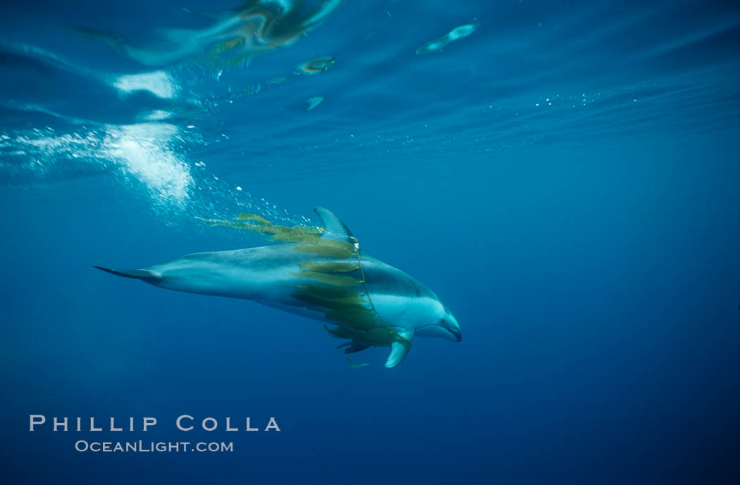 Pacific white sided dolphin, carrying drift kelp. San Diego, California, USA, Lagenorhynchus obliquidens, natural history stock photograph, photo id 00042