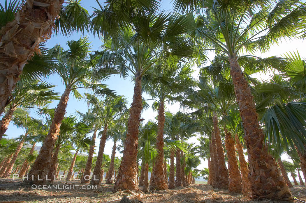 Palm trees on a tree farm, looking like a forest of palms.,  Copyright Phillip Colla, image #20475, all rights reserved worldwide.