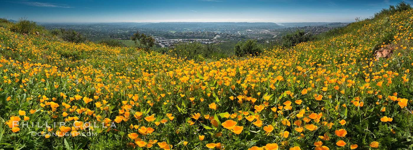 Panorama of California Poppies, Rancho La Costa, Carlsbad