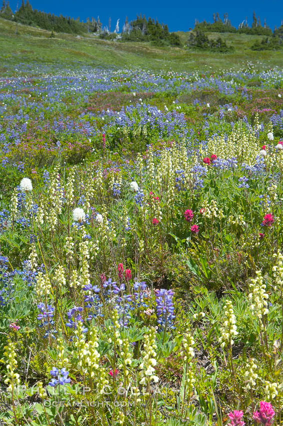 Paradise Meadows wildflowers, summer. Mount Rainier National Park, Washington, USA, natural history stock photograph, photo id 13892