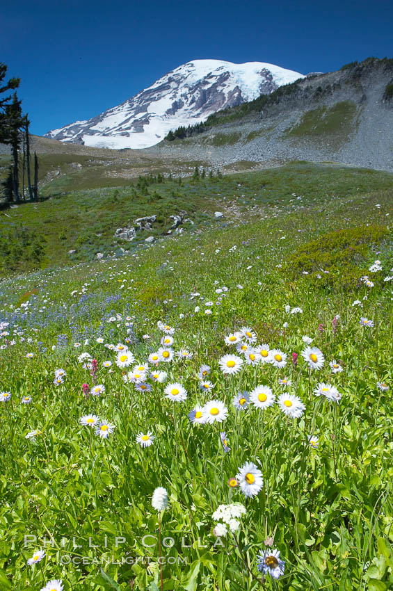 Paradise Meadows, wildflowers and Mount Rainier, summer. Mount Rainier National Park, Washington, USA, natural history stock photograph, photo id 13893