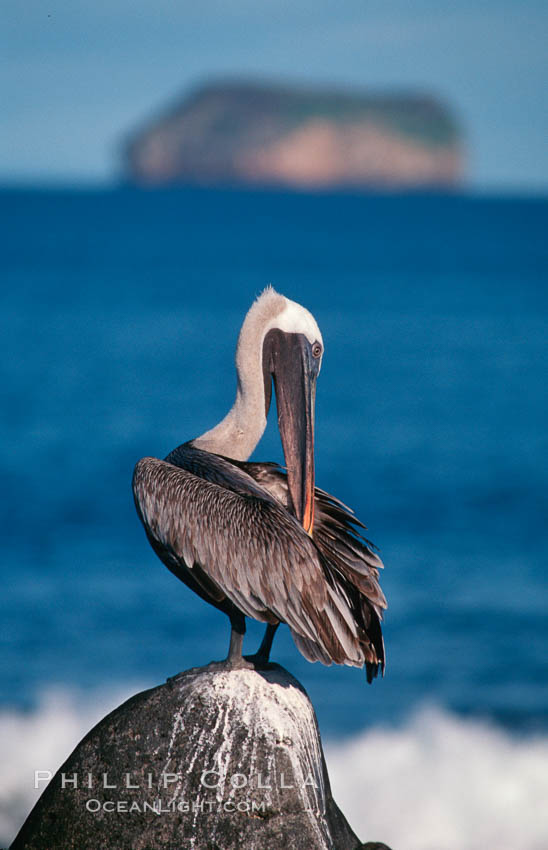 Brown pelican. Galapagos Islands, Ecuador, Pelecanus occidentalis, natural history stock photograph, photo id 02273