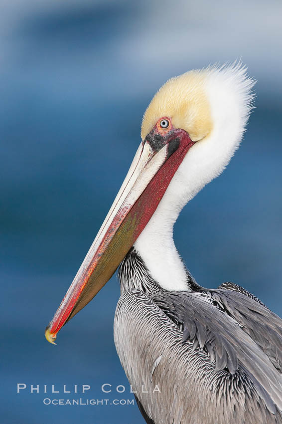 Brown pelican, adult winter non-breeding plumage showing white hindneck and red gular throat pouch..  This large seabird has a wingspan over 7 feet wide. The California race of the brown pelican holds endangered species status, due largely to predation in the early 1900s and to decades of poor reproduction caused by DDT poisoning. La Jolla, California, USA, Pelecanus occidentalis, Pelecanus occidentalis californicus, natural history stock photograph, photo id 15130