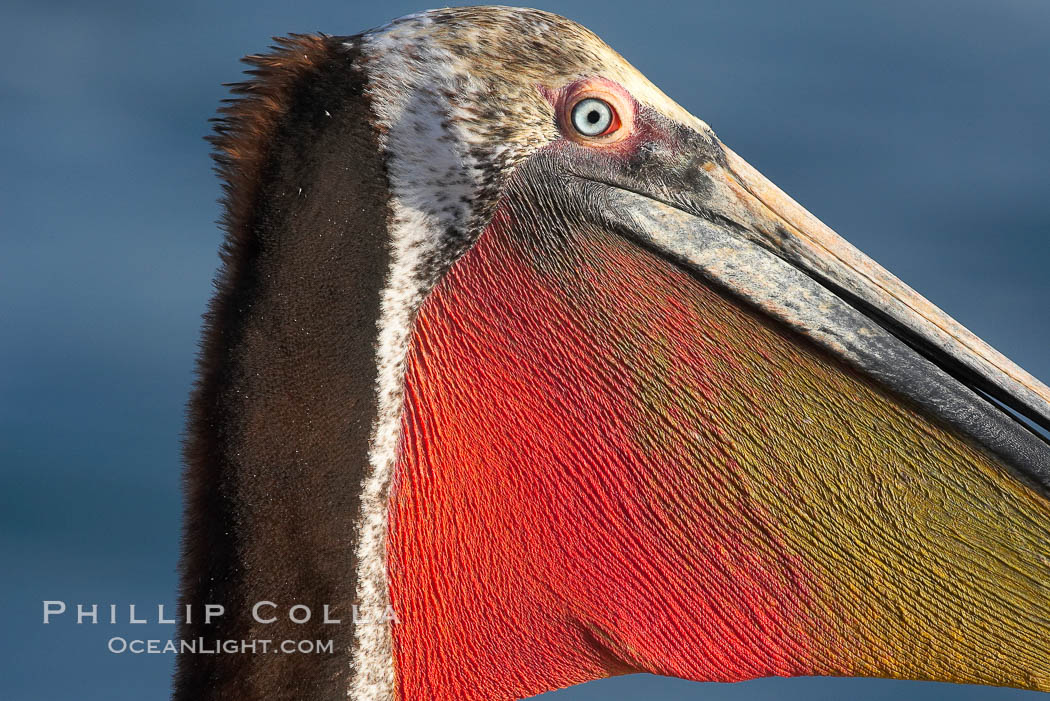 Brown pelican, showing bright red gular pouch and breeding plumage with brown neck. This large seabird has a wingspan over 7 feet wide. The California race of the brown pelican holds endangered species status, due largely to predation in the early 1900s and to decades of poor reproduction caused by DDT poisoning, Pelecanus occidentalis, Pelecanus occidentalis californicus, La Jolla