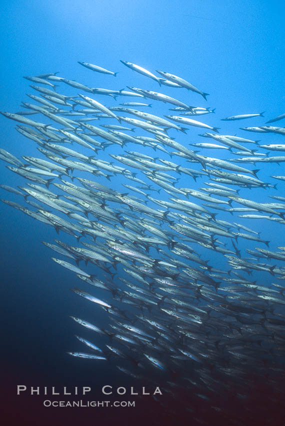 Barracuda. Cousins, Galapagos Islands, Ecuador, Sphyraena idiastes, natural history stock photograph, photo id 01845