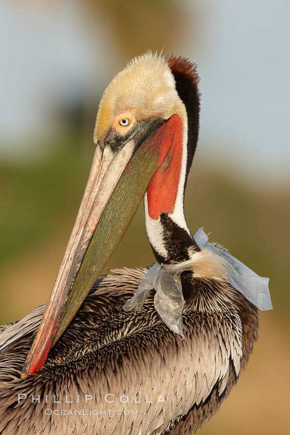 A California brown pelican entangled in a plastic bag which is wrapped around its neck.  This unfortunate pelican probably became entangled in the bag by mistaking the floating plastic for food and diving on it, spearing it in such a way that the bag has lodged around the pelican's neck.  Plastic bags kill and injure untold numbers of marine animals each year, Pelecanus occidentalis, Pelecanus occidentalis californicus, La Jolla