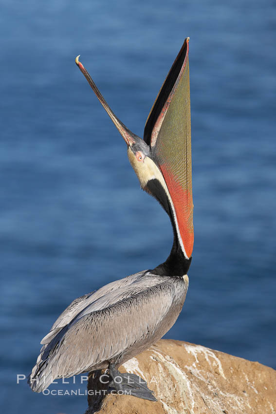 Brown pelican head throw.  During a bill throw, the pelican arches its neck back, lifting its large bill upward and stretching its throat pouch. La Jolla, California, USA, Pelecanus occidentalis, Pelecanus occidentalis californicus, natural history stock photograph, photo id 20257