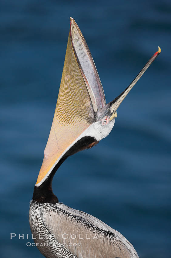 Brown pelican head throw.  During a bill throw, the pelican arches its neck back, lifting its large bill upward and stretching its throat pouch. La Jolla, California, USA, Pelecanus occidentalis, Pelecanus occidentalis californicus, natural history stock photograph, photo id 15166