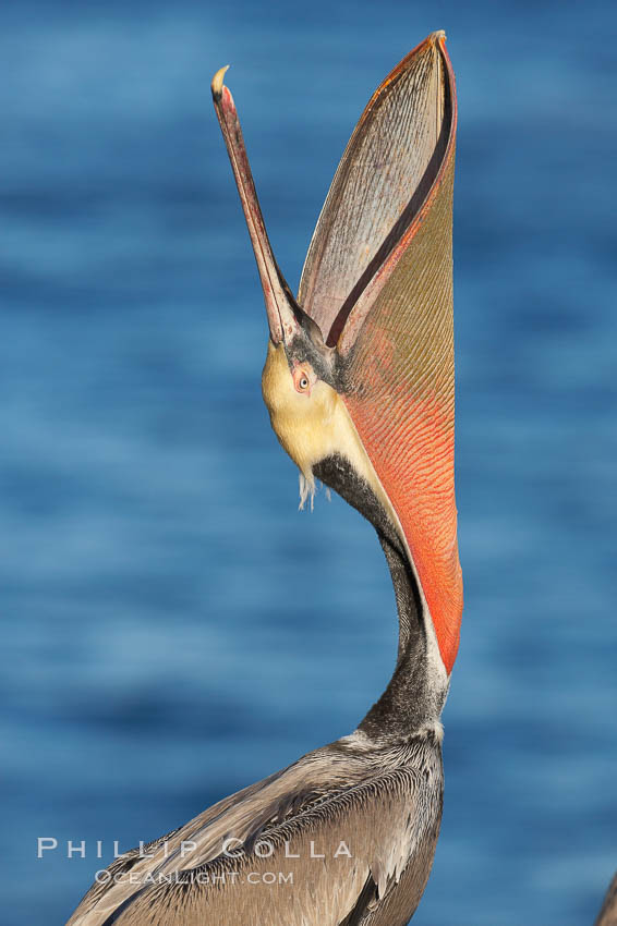Brown pelican head throw.  During a bill throw, the pelican arches its neck back, lifting its large bill upward and stretching its throat pouch., Pelecanus occidentalis, Pelecanus occidentalis californicus,  Copyright Phillip Colla, image #18044, all rights reserved worldwide.